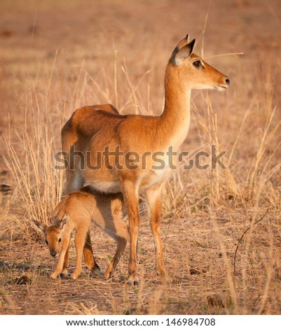 Puku and Baby - stock photo