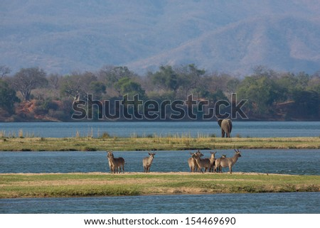 Puku and elephant by the Zambezi river - stock photo