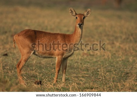 Puku, Moorantilope, South Africa - stock photo