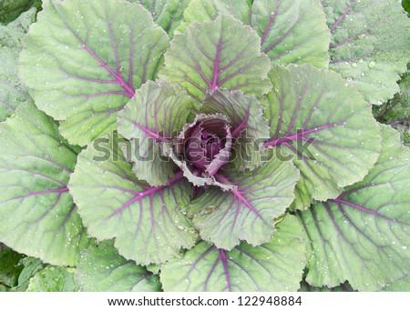 Pule, Longlived Cabbag ( Brassica hybrid cv. Pule ) - stock photo