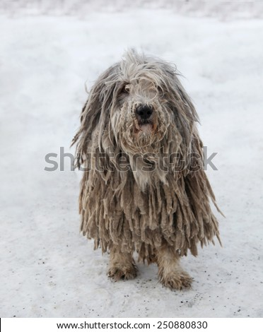 Puli dog with pasta in winter - stock photo