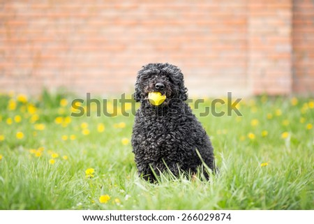 Puli - Hungarian herding and livestock guarding dog - stock photo