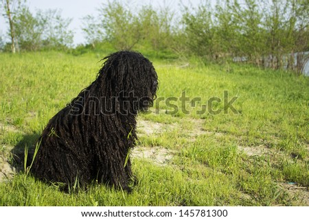 PULI - hungarian herding dog sit on the grass - stock photo