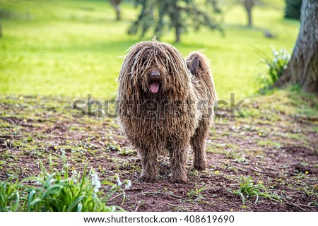 Puli, small-medium breed of Hungarian herding and livestock guarding dogbreed in a garden - stock photo