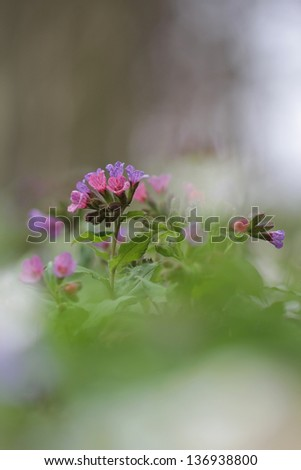Pulmonaria obscura - flowering in forest