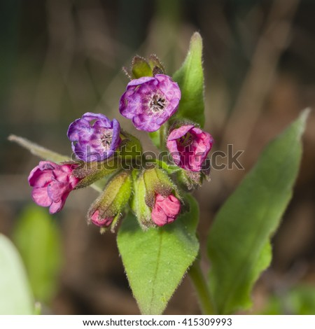 Pulmonaria or Lungwort Flowers macro on bokeh background, selective focus, shallow DOF