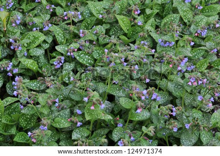 Pulmonaria or Lungwort in Bloom Horizontal - stock photo