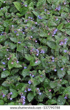 Pulmonaria or Lungwort in Bloom Vertical  - stock photo