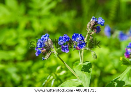 Pulmonaria or Lungwort with Pink and Blue Flowers macro on bokeh background, selective focus, shallow DOF.  Pulmonaria officinalis.