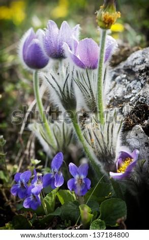 Pulsatilla slavica and viola odorata growing under a rock. - stock photo