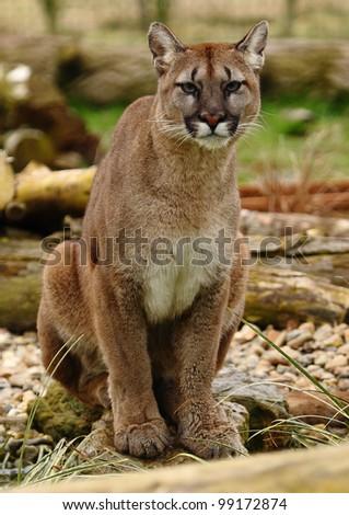 Puma - stock photo