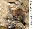 Puma Camouflaged on Rocks Looking Up Felis Concolor - stock photo