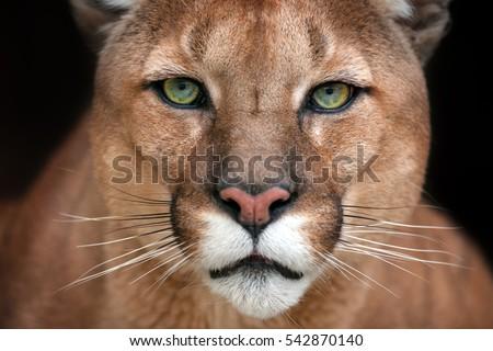 black puma eyes