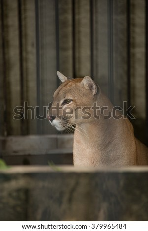 Puma in Cage - stock photo