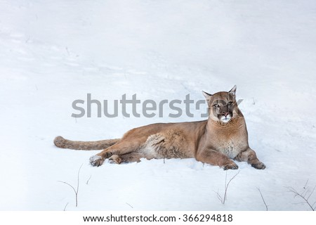 Puma in the woods, Mountain Lion, single cat on snow - stock photo