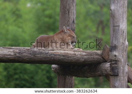 Puma in the Zoo - stock photo