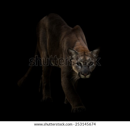 Puma is on the prowl in the dark - stock photo