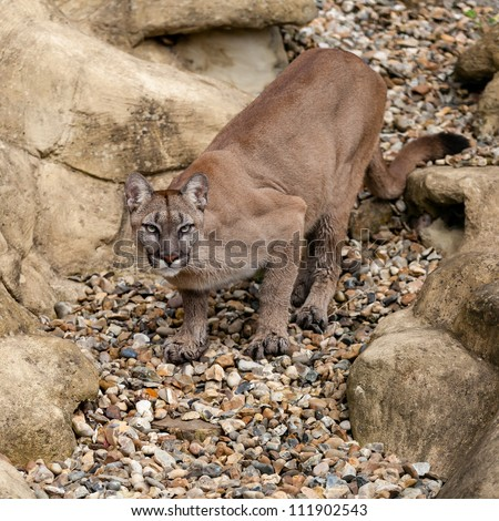 Puma on Rock Crouching Ready to Pounce Felis Concolor
