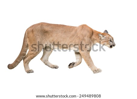 puma or cougar isolated on white background - stock photo