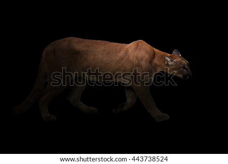puma (Panthera onca) in the dark with spotlight