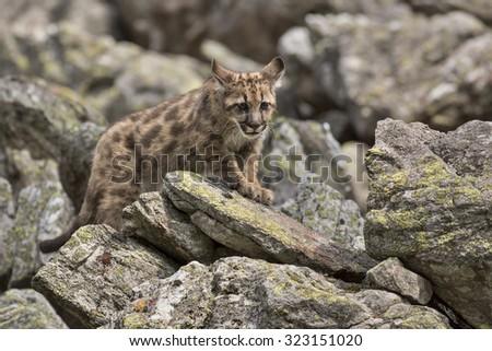 Puma/Puma - stock photo