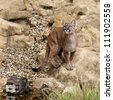 Puma Standing on Rock Gazing Upwards Felis Concolor - stock photo