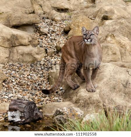 Puma Standing on Rock Gazing Upwards Felis Concolor - stock photo