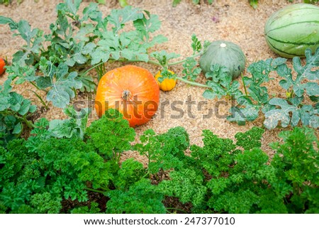 Pumpkin farm is ready to sell to consumers. - stock photo