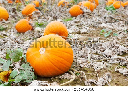 Pumpkin field with different types of pumpkin on autumn day. Huge orange vegetables on a farm. Thanksgiving or halloween holiday, pumpkin patch.