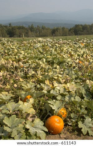 Pumpkin field with distant mountains - stock photo