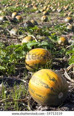 Pumpkin field with orange-green pumpkins - stock photo