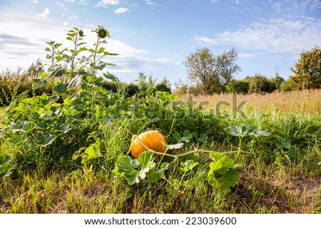 Pumpkin growing on the field in a countryside - stock photo