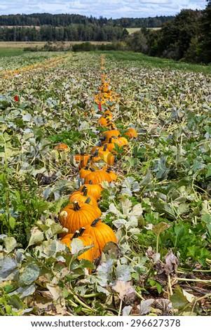 Pumpkin harvest in a farm field. - stock photo