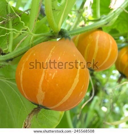 Pumpkin in the garden, orange, large and ripe, growing under sunlight - stock photo