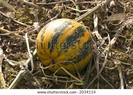 Pumpkin on the field