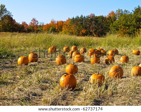 Pumpkin Patch - Field of pumpkins with fall foliage in background