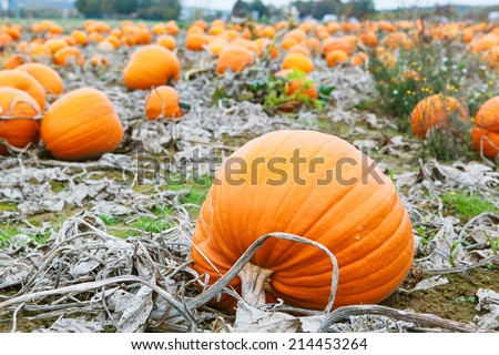 Pumpkin patch field with different typ of huge pumpkins for halloween or thanksgiving holiday. - stock photo