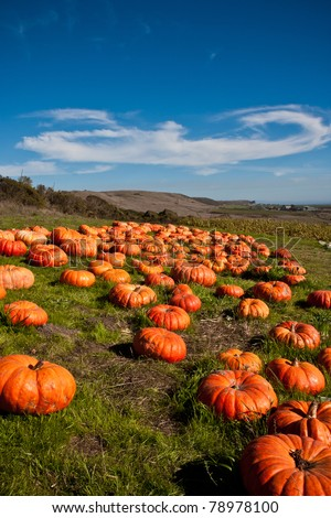 Pumpkin Patch in Green Farm Field with Blue Sky
