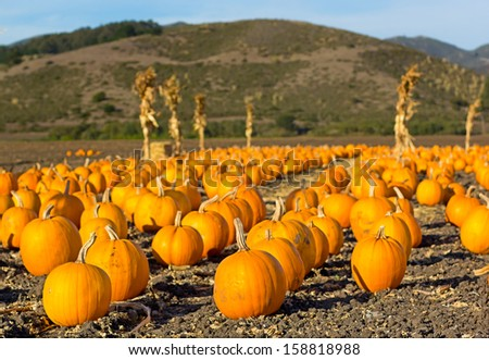 Pumpkin patch ready for annual festival in Half Moon Bay, California.  - stock photo