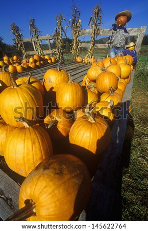 Pumpkin patch with scarecrows along Scenic Route 100, VT - stock photo