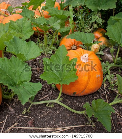 Pumpkin plant with green leaves, flower and ripe pumpkins - stock photo