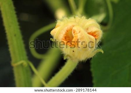 Pumpkin's flower(Cucurbita moschata) - stock photo