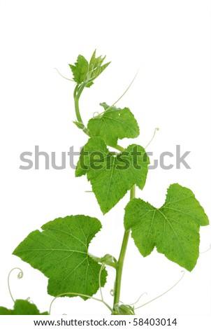 Pumpkin vine isolated on white background - stock photo