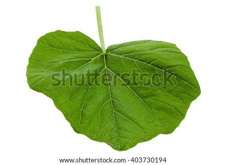 Pumpkin young leaf isolated on white background - stock photo