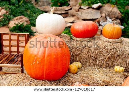 Pumpkins (Cucurbita moschata) picked and set in straw to cure prior to being placed in winter storage.