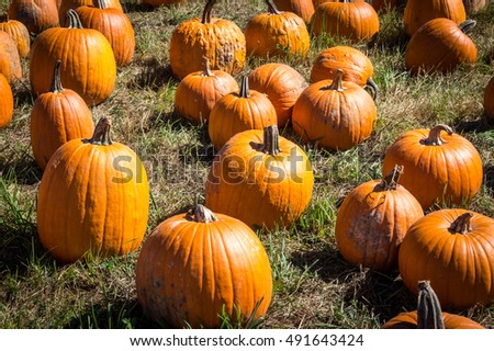 Pumpkins in a field at Outhouse Orchard, North Salem, NY
