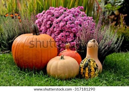 Pumpkins in autumn garden. - stock photo