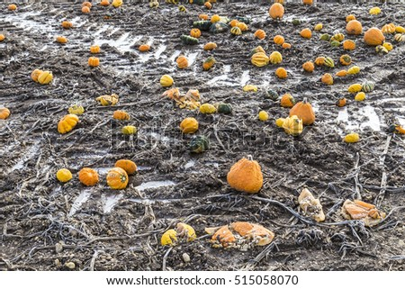 pumpkins in winter remain at the field in frost