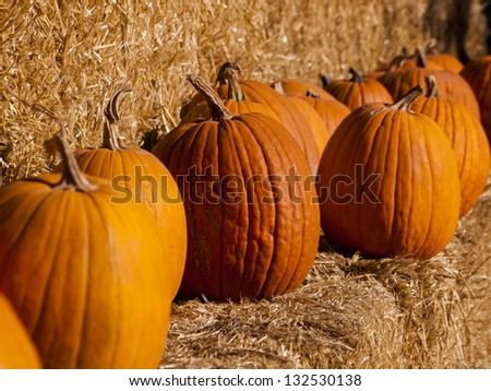 Pumpkins ready for harvesting on farm field in Autumn.