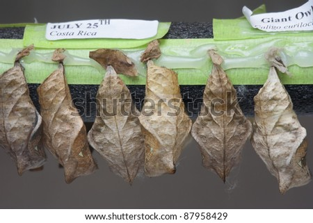 Pupa of Giant Owl Butterfly - Caligo eurilochus in the Life Stage from Caterpillar to Butterfly - stock photo